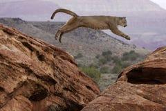 Salto del león de montaña Imágenes de archivo libres de regalías