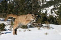 Salto del león de montaña Fotografía de archivo