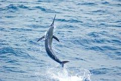 Salto del marlin azzurro Fotografia Stock Libera da Diritti