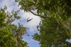 Salto del mono de araña Imágenes de archivo libres de regalías