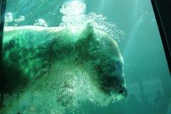 Salto del oso polar en piscina Fotos de archivo