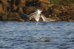 Salto del pájaro Fotos de archivo