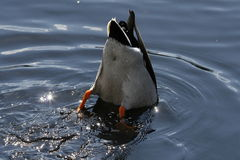 Salto del pato del pato silvestre Fotos de archivo