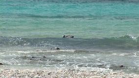 Salto del pelícano en el océano almacen de video