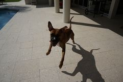 Salto del perro del boxeador Imágenes de archivo libres de regalías