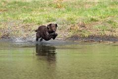 Salto del perro perdiguero de Labrador del chocolate fotos de archivo