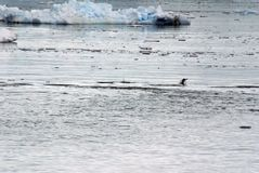 Salto del pingüino de Gentoo, rodeado por los icebergs foto de archivo libre de regalías