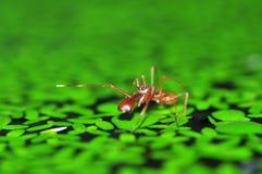 Salto del ragno della formica Fotografia Stock