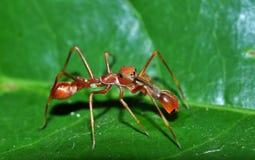 Salto del ragno della formica Fotografie Stock Libere da Diritti