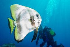 Salto del retrato de los pescados del palo en Maldivas Foto de archivo