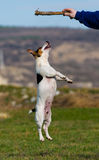Salto del terrier de Jack Russell Fotografía de archivo libre de regalías