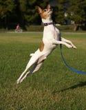 Salto del Terrier di Fox del giocattolo Immagine Stock
