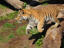 Salto del tigre siberiano Imagen de archivo