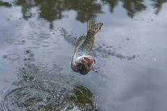 Salto del trofeo de los pescados de Pike por encima de la superficie con salpicar imagen de archivo
