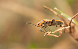 Salto dell'insetto Fotografie Stock Libere da Diritti