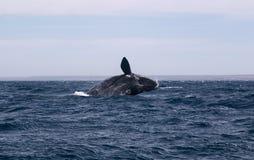 Salto della balena Fotografie Stock