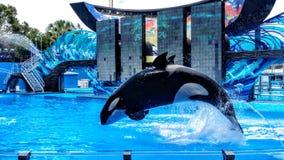 Salto della balena dell'orca Fotografie Stock Libere da Diritti