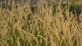 Salto di fioritura dell'erba dal vento nel tramonto al bacino idrico Tailandia di Wang Bon video d archivio