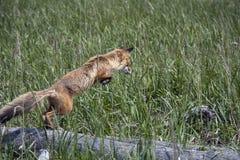 Salto di Fox Fotografia Stock