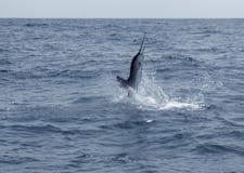 Salto di pesca sportiva dell'acqua salata del pesce vela del Pacifico Immagine Stock