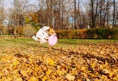 Salto divertente del cane che prende il disco di volo rosa Fotografia Stock