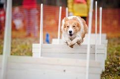 Salto divertente del collie di bordo del cane Fotografia Stock
