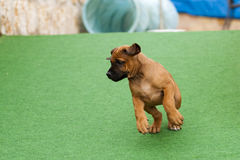 Salto do cachorrinho de Rhodesian Ridgeback Imagem de Stock Royalty Free