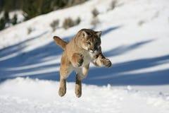 Salto do leão de montanha Fotografia de Stock