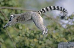 Salto do Lemur Ring-tailed fotografia de stock