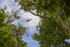 Salto do macaco de aranha Imagens de Stock Royalty Free