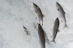 Salto dos salmões de Sockeye fotos de stock