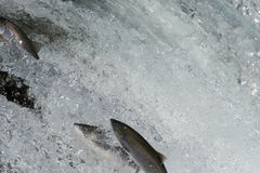 Salto dos salmões de Sockeye Fotos de Stock Royalty Free