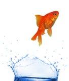 Salto dourado dos peixes imagens de stock royalty free