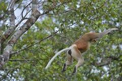 Salto em um macaco de probóscide da árvore Fotos de Stock
