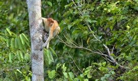 Salto em um macaco de probóscide da árvore Fotografia de Stock Royalty Free