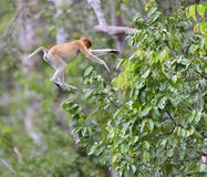 Salto em um macaco de probóscide da árvore Foto de Stock