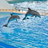 Salto entrenado de los delfínes Foto de archivo