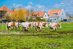 Salto felice delle mucche Fotografia Stock