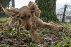 Salto feliz de cocker spaniel del perro de perrito fotos de archivo libres de regalías