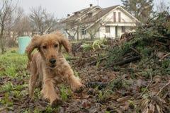 Salto feliz de cocker spaniel del perro de perrito imagen de archivo libre de regalías