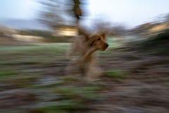 Salto feliz de cocker spaniel del perro de perrito foto de archivo