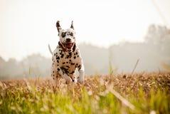 Salto feliz del dalmatian fotos de archivo
