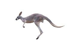 Salto gris del canguro imagen de archivo