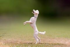 Salto hermoso de un perro de caniche blanco Foto de archivo libre de regalías