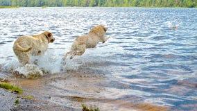 Salto Labradors Imagen de archivo libre de regalías