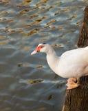 Salto listo del pato blanco en el agua Imágenes de archivo libres de regalías