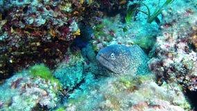 Salto Maldivas - anguila de moray almacen de metraje de vídeo