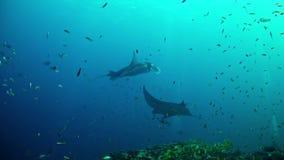 Salto Maldivas - Manta Ray almacen de metraje de vídeo