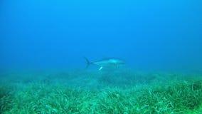 Salto Maldivas - pescados de atún almacen de metraje de vídeo