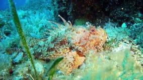 Salto Maldivas - pescados de escorpión almacen de metraje de vídeo